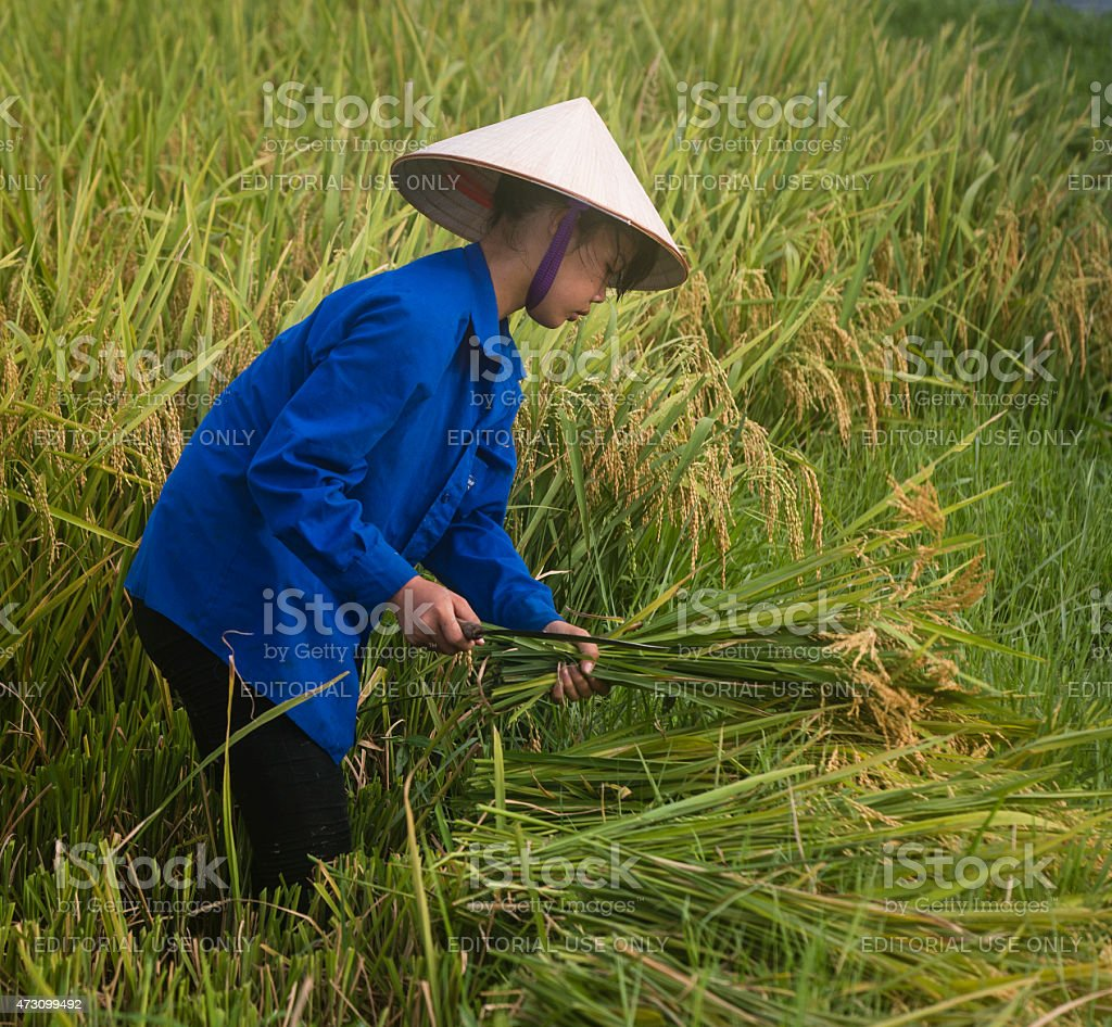Young Vietnamese Girl Harvesting Rice stock photo