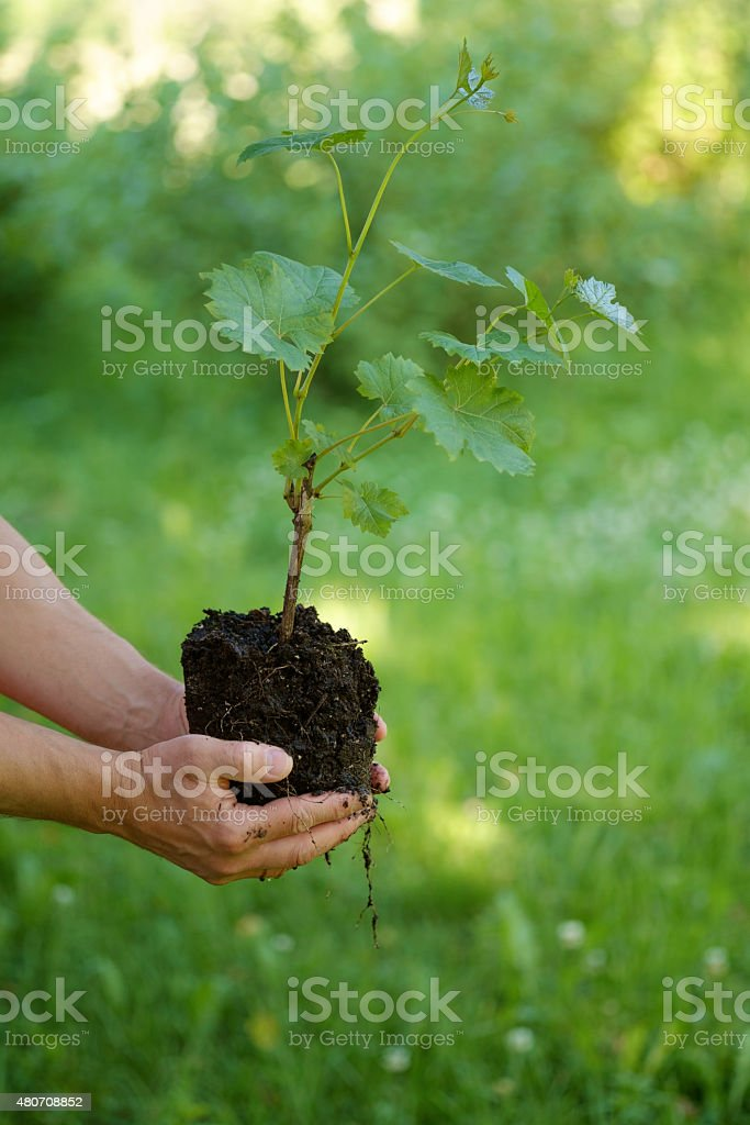 young vine plants stock photo