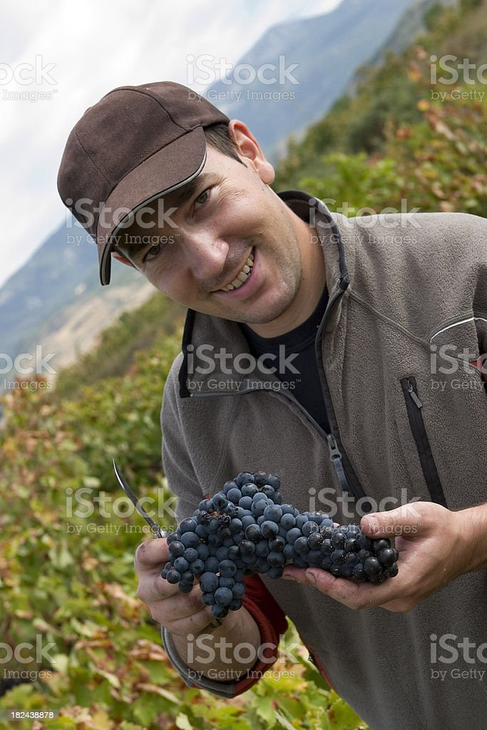 Young vine-grower holding tempranillo grapes stock photo