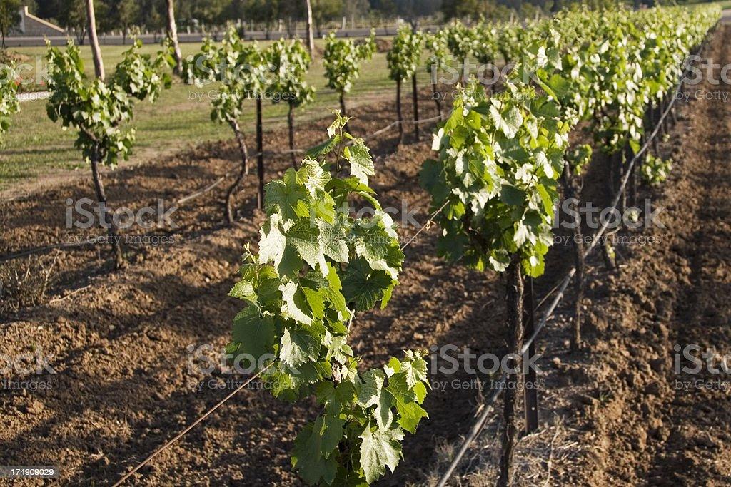 Young vineyard royalty-free stock photo