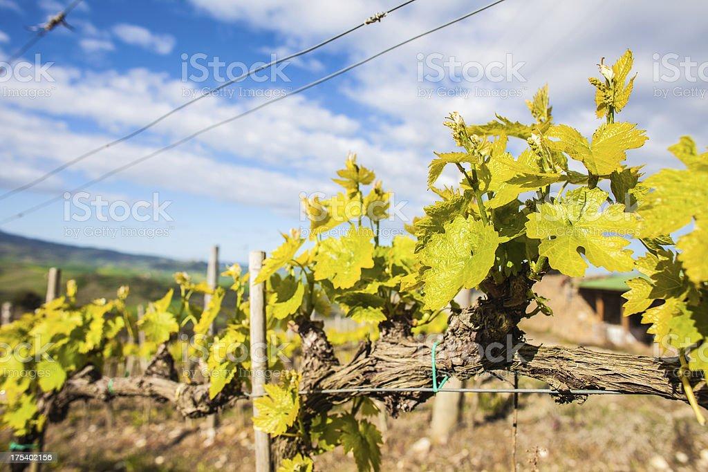 Young Vineyard stock photo