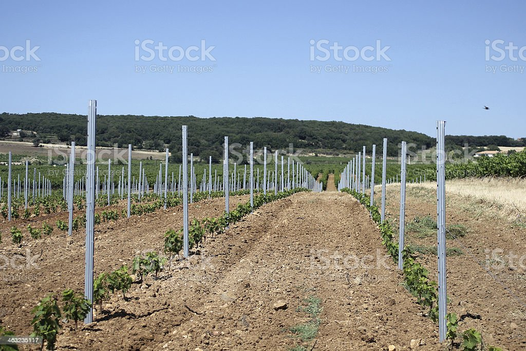 Young Vineyard. South of France royalty-free stock photo