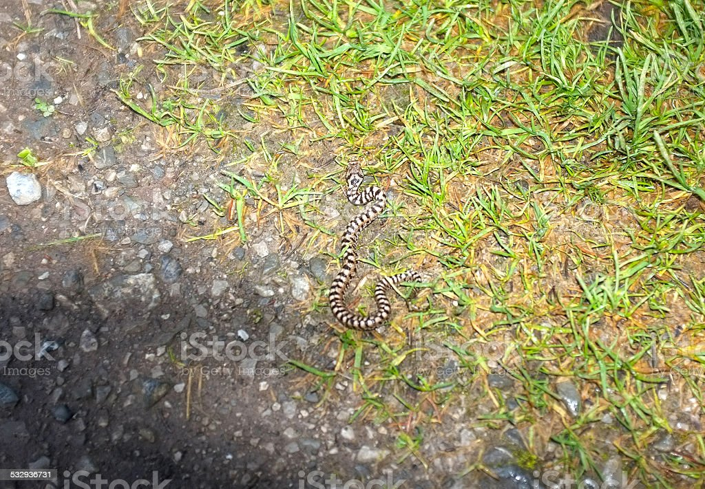 Young Vipera aspis of Swiss alps stock photo
