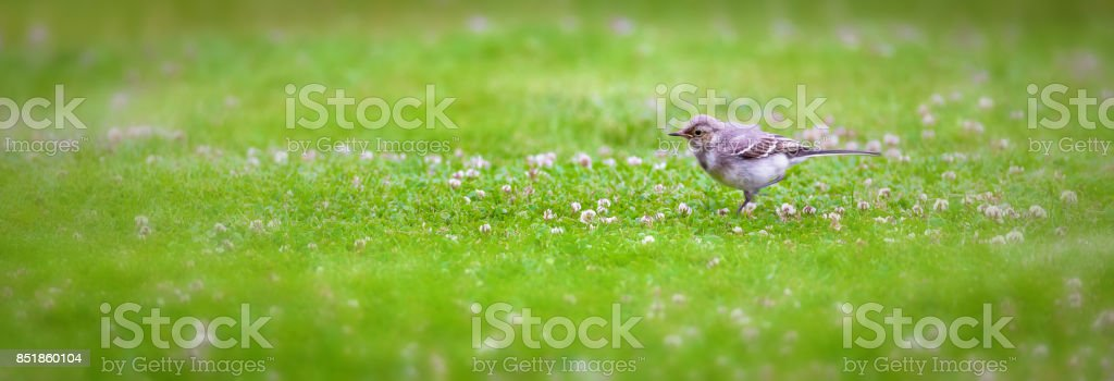 Young wagtail stock photo