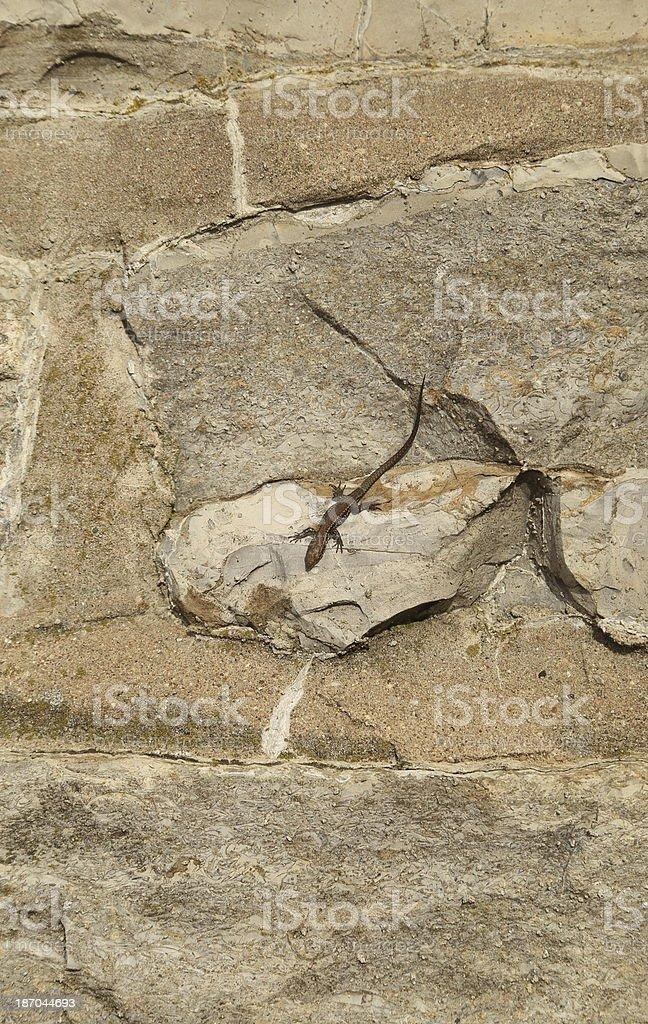 Young wall lizard stock photo