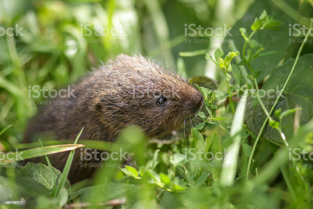 Young Water Vole stock photo