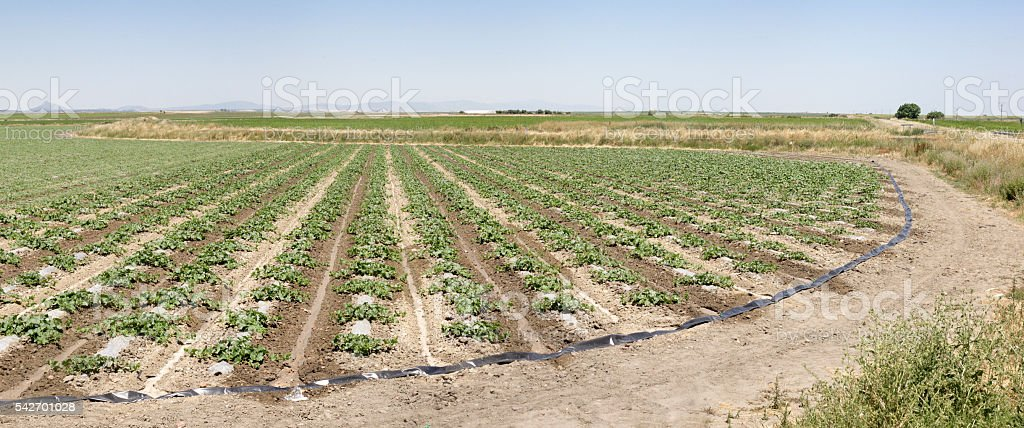 Young watermelon field, Extremadura, Spain stock photo