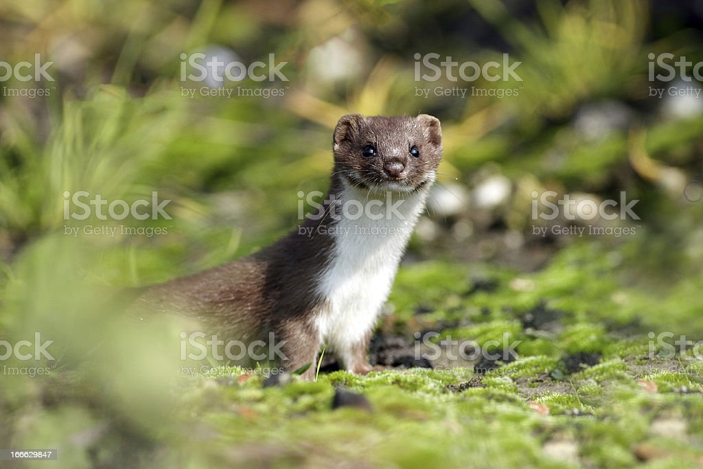 Young weasel pup peeping from far in the wild stock photo