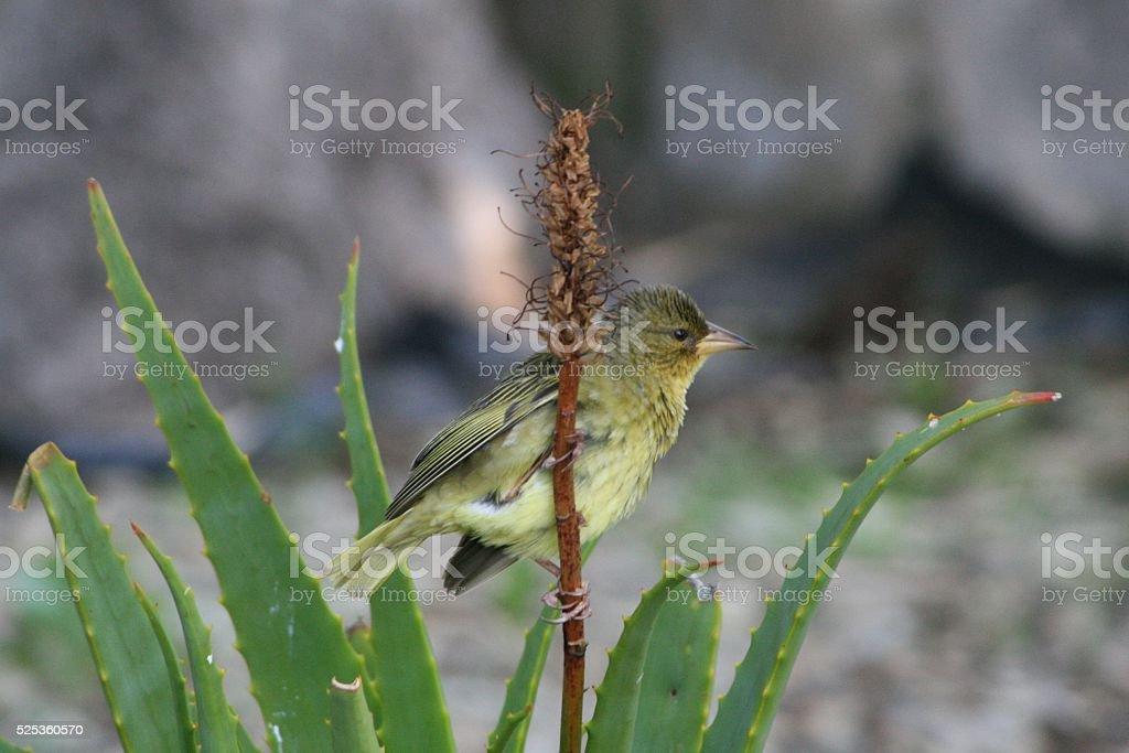 junger Webervogel stock photo