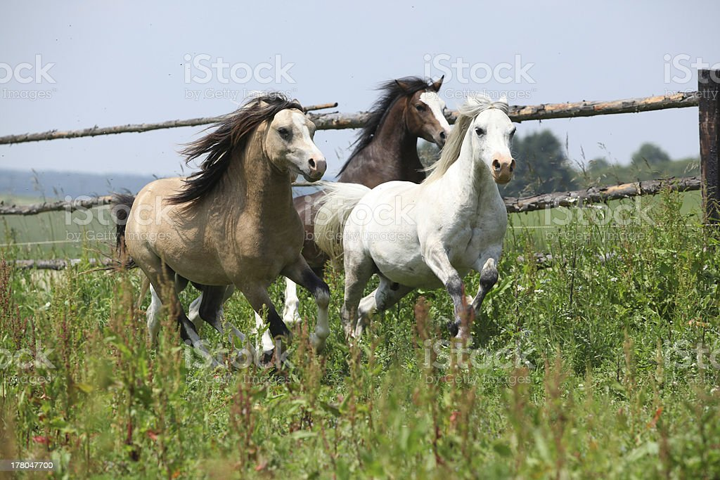 Young welsh ponnies running together on pasturage stock photo