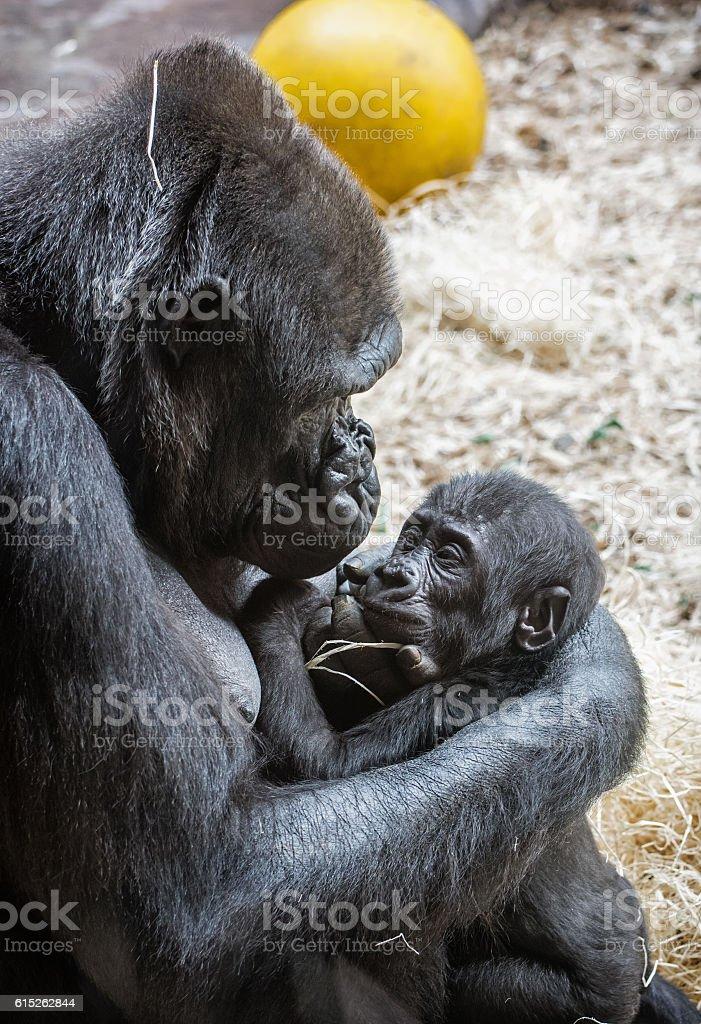 Young Western lowland gorilla - Gorilla gorilla gorilla stock photo