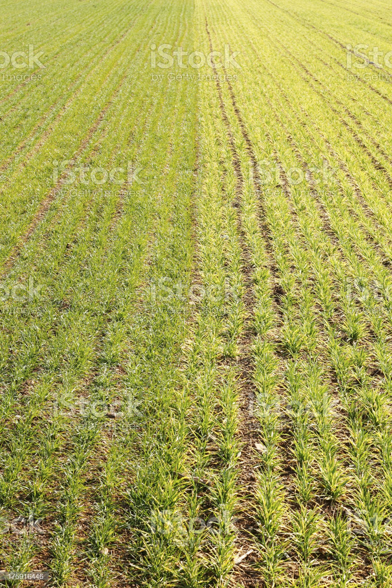 Young wheat field royalty-free stock photo