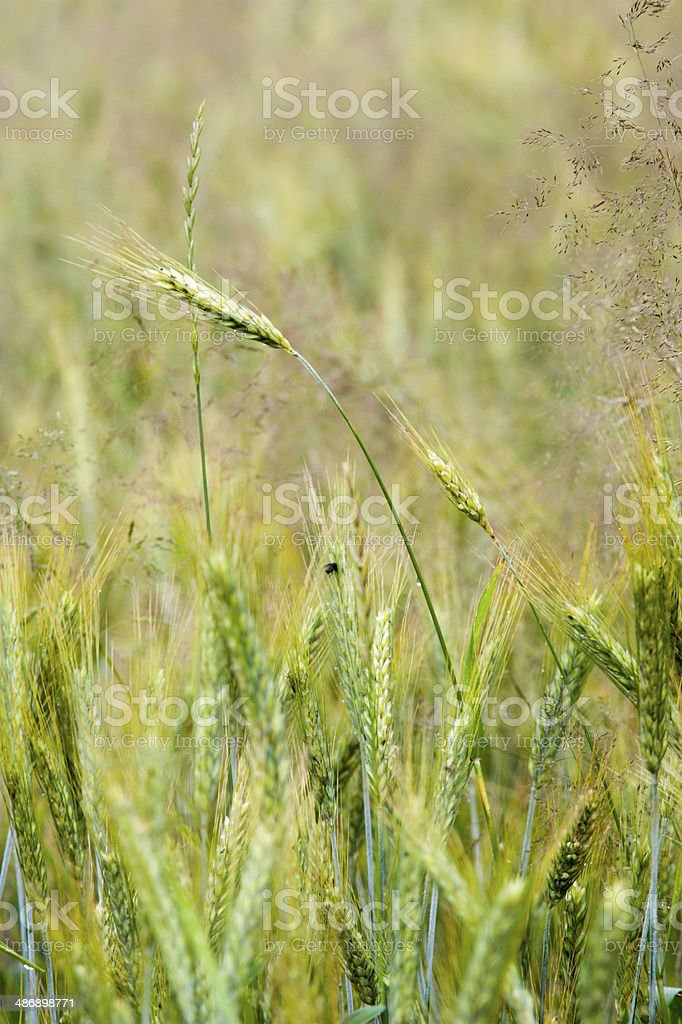 Young wheat field stock photo