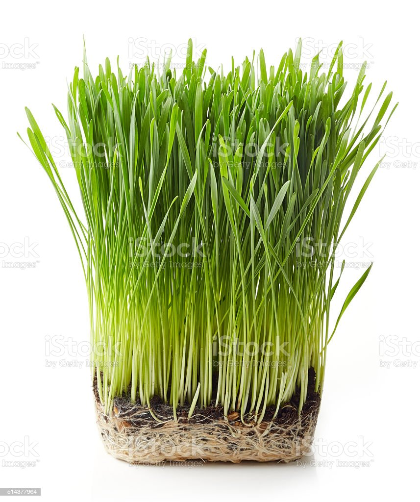Young wheat grass stock photo