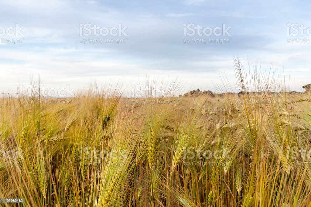 Young wheat growing in green farm field stock photo
