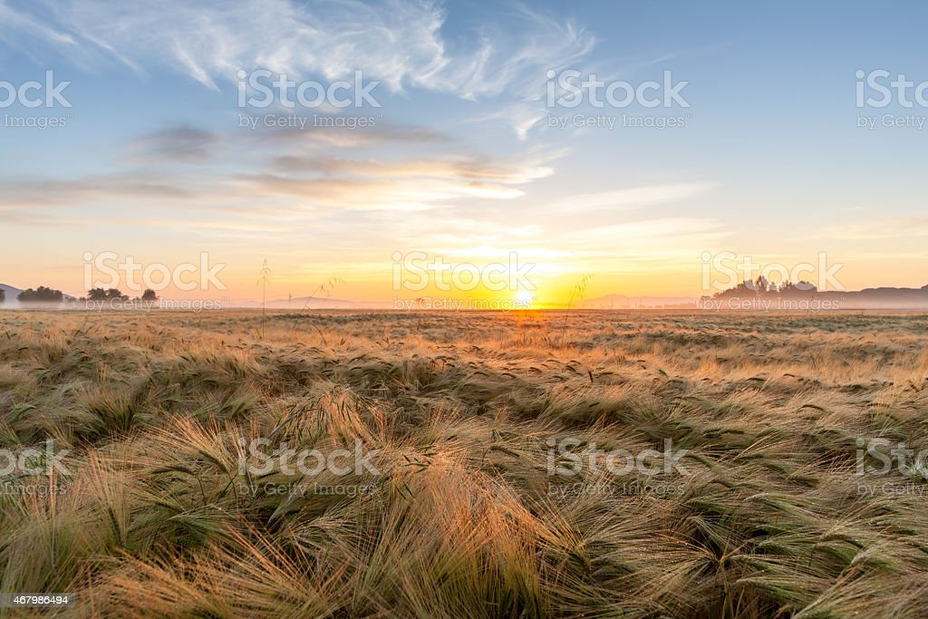 Young wheat growing in green farm field under blue sky stock photo