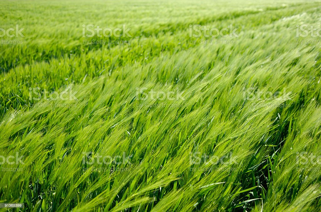 Young wheat in the wind royalty-free stock photo