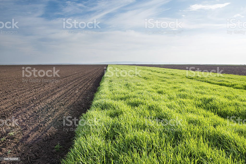 young wheat royalty-free stock photo