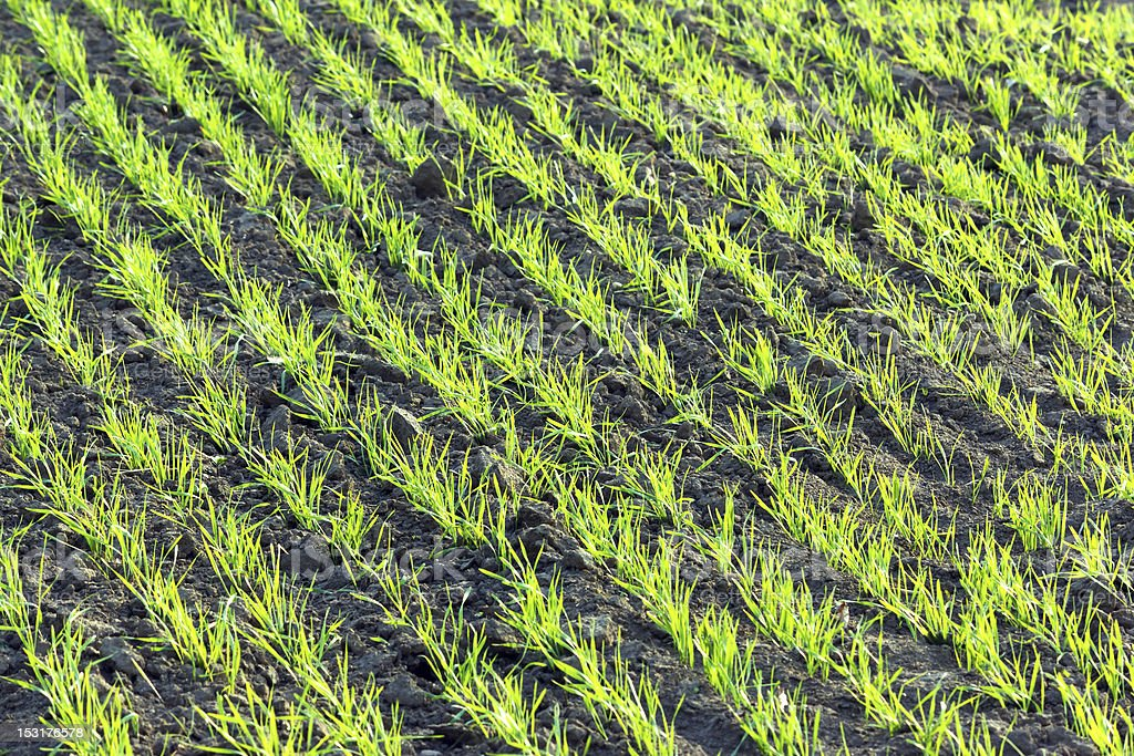 young wheat plants stock photo