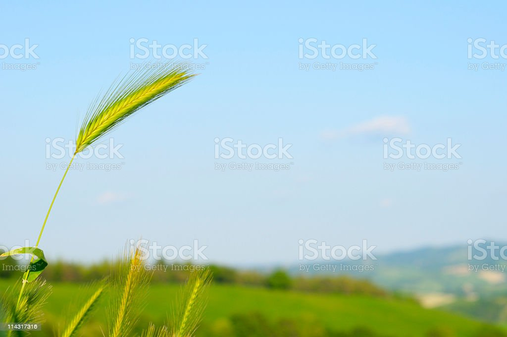 Young Wheat Scenic royalty-free stock photo