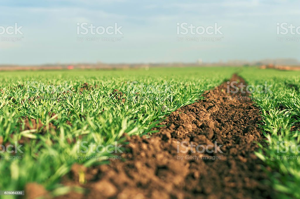 Young wheat seedlings growing in a field stock photo
