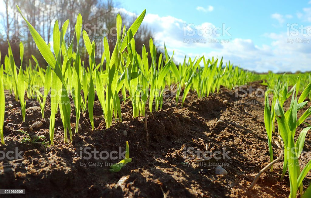 Young wheat seedlings. stock photo