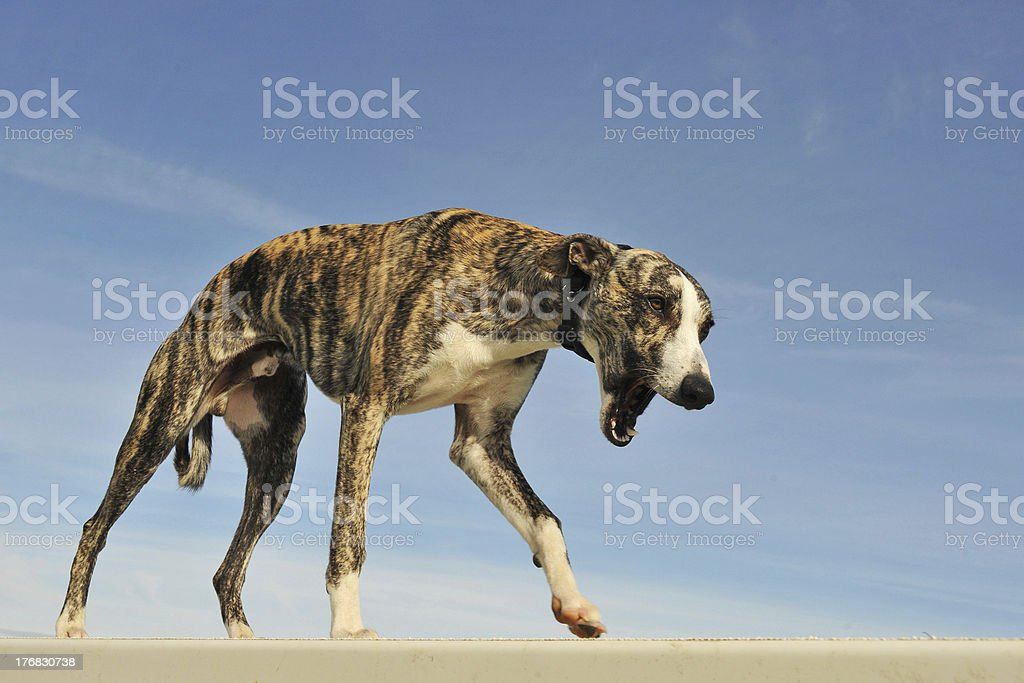 young  whippet royalty-free stock photo