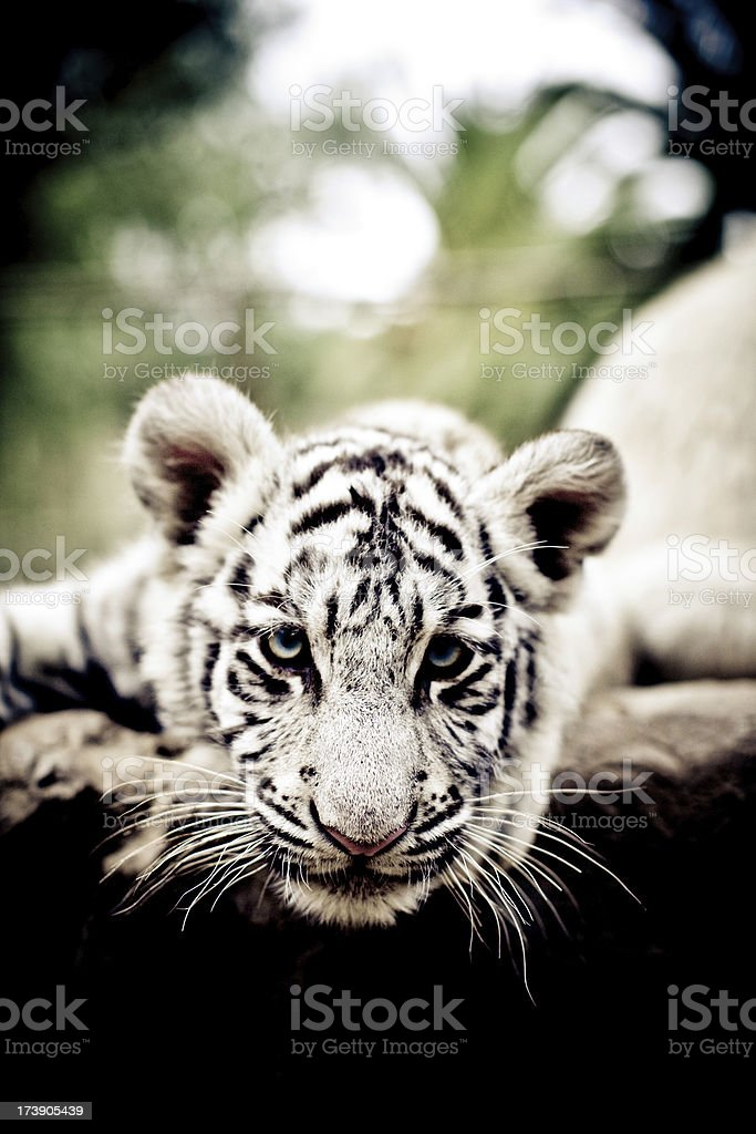 Young white bengal tiger royalty-free stock photo