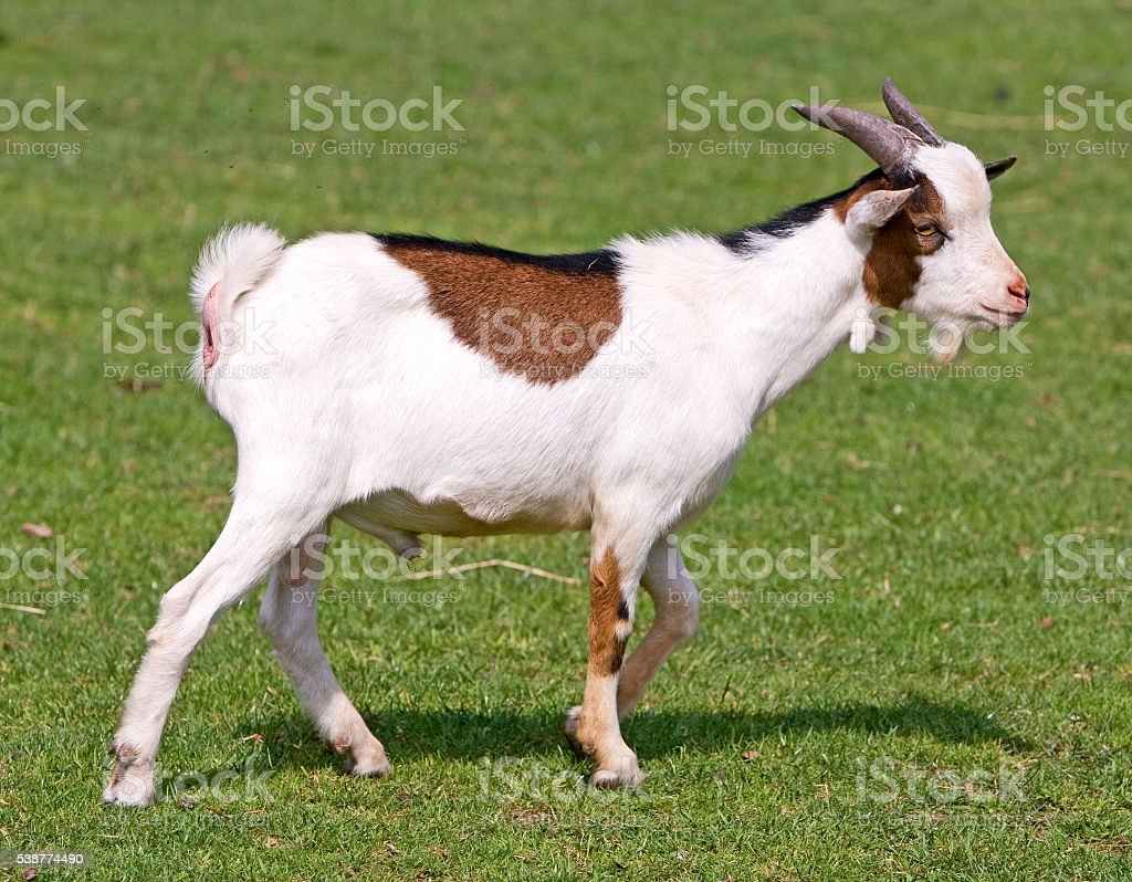young white brown goat on green meadow stock photo