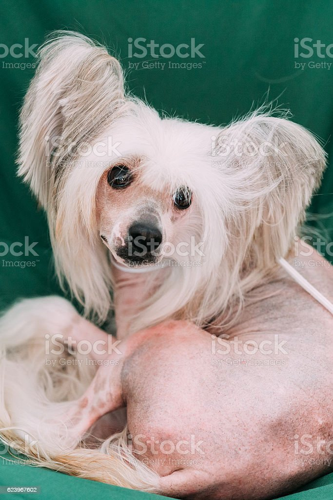 Young White Chinese Crested Dog Sit In Chair. Hairless Breed stock photo