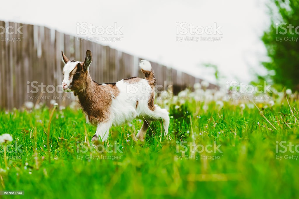Young white goat grazing stock photo