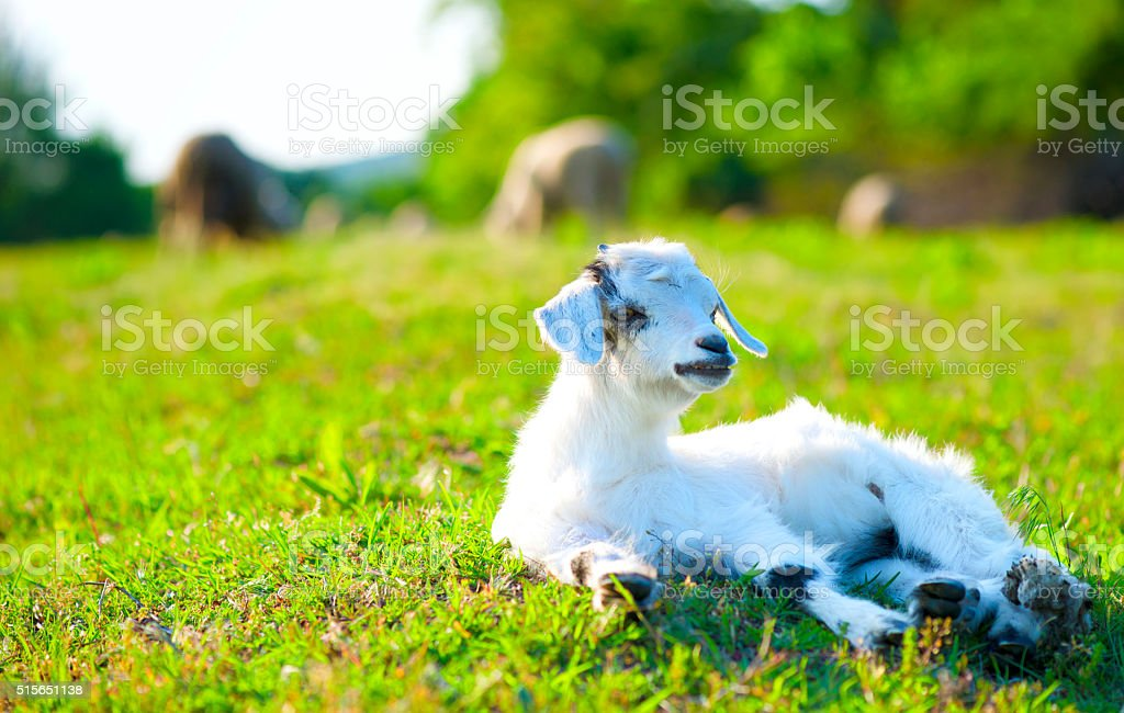 Young white goat on green grass stock photo