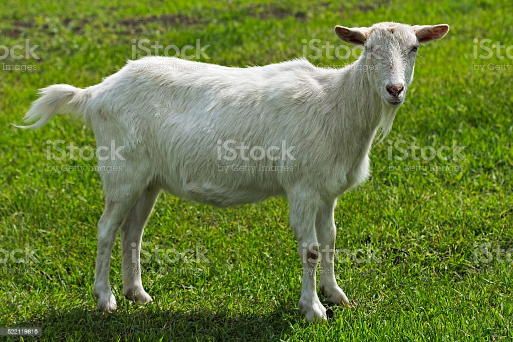 Young white goat standing on green grass stock photo
