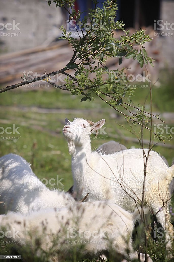 Young white goats royalty-free stock photo