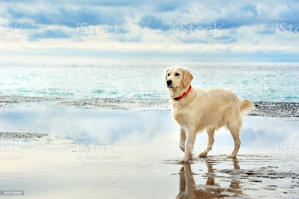 young white golden retriever stand on the seafront stock photo