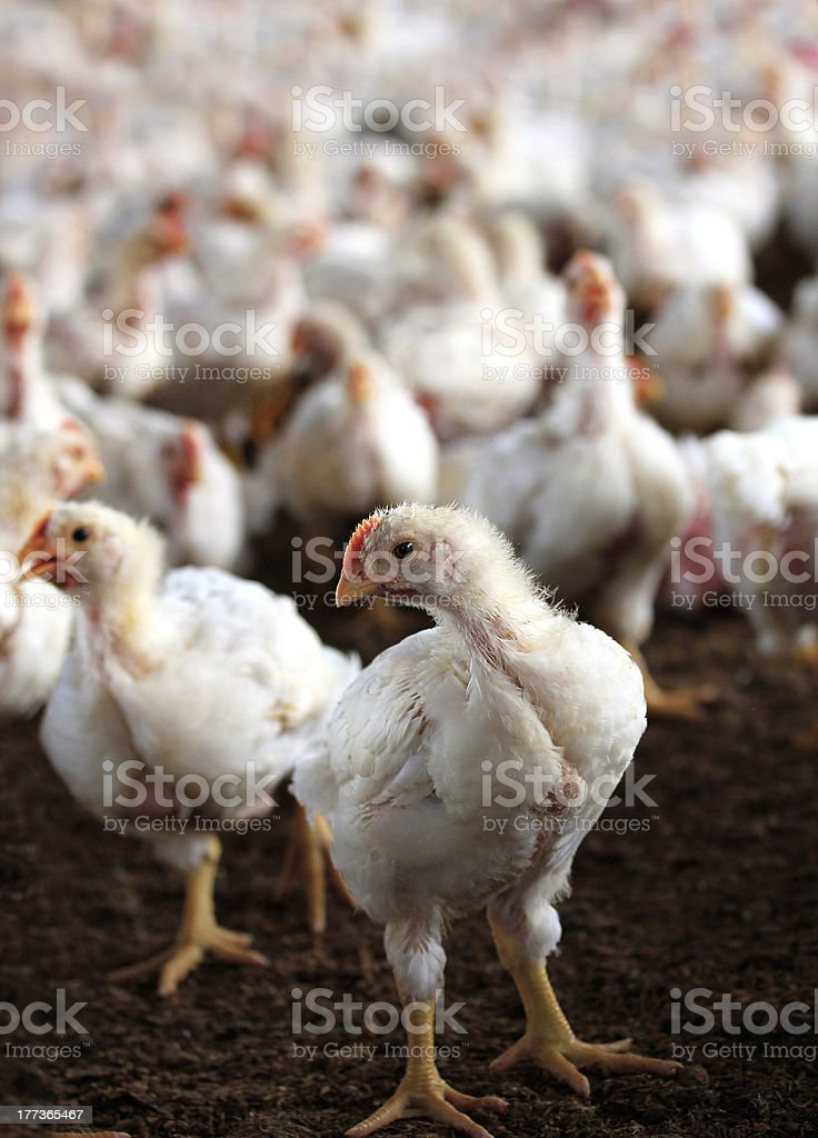 Young white hen with a group of other chicken royalty-free stock photo