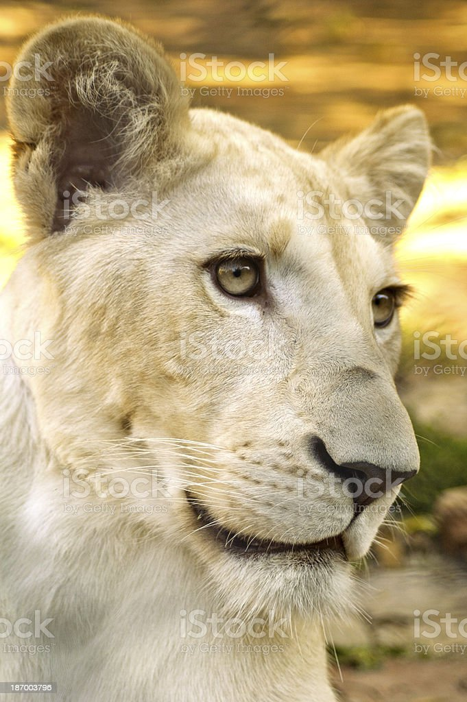 Young white lioness stock photo