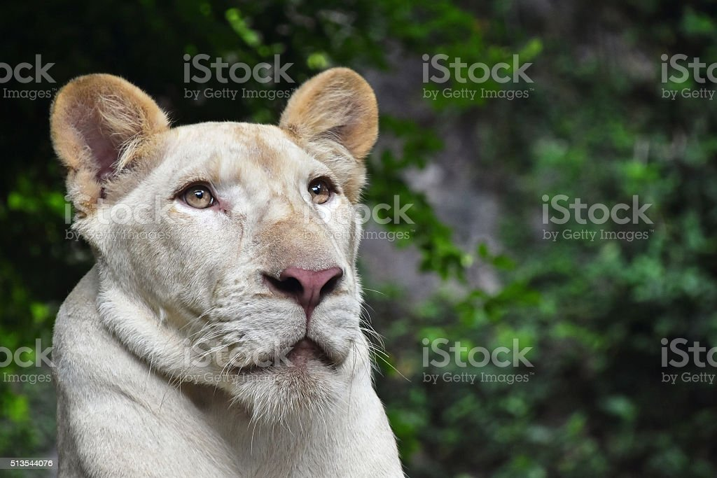 Young white lioness portrait in zoo close up royalty-free stock photo