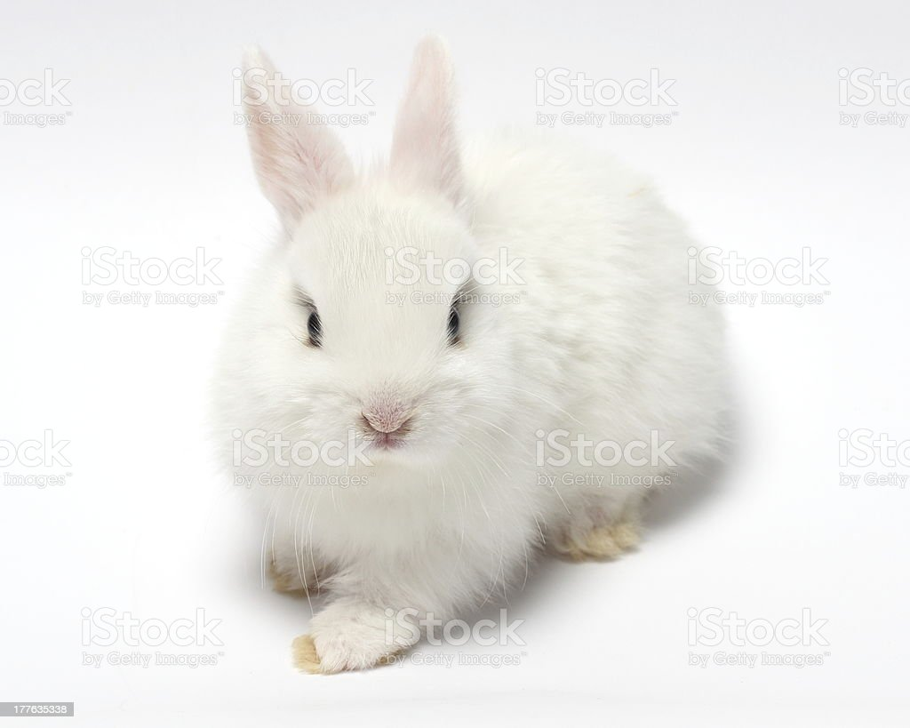 young white rabbit stock photo