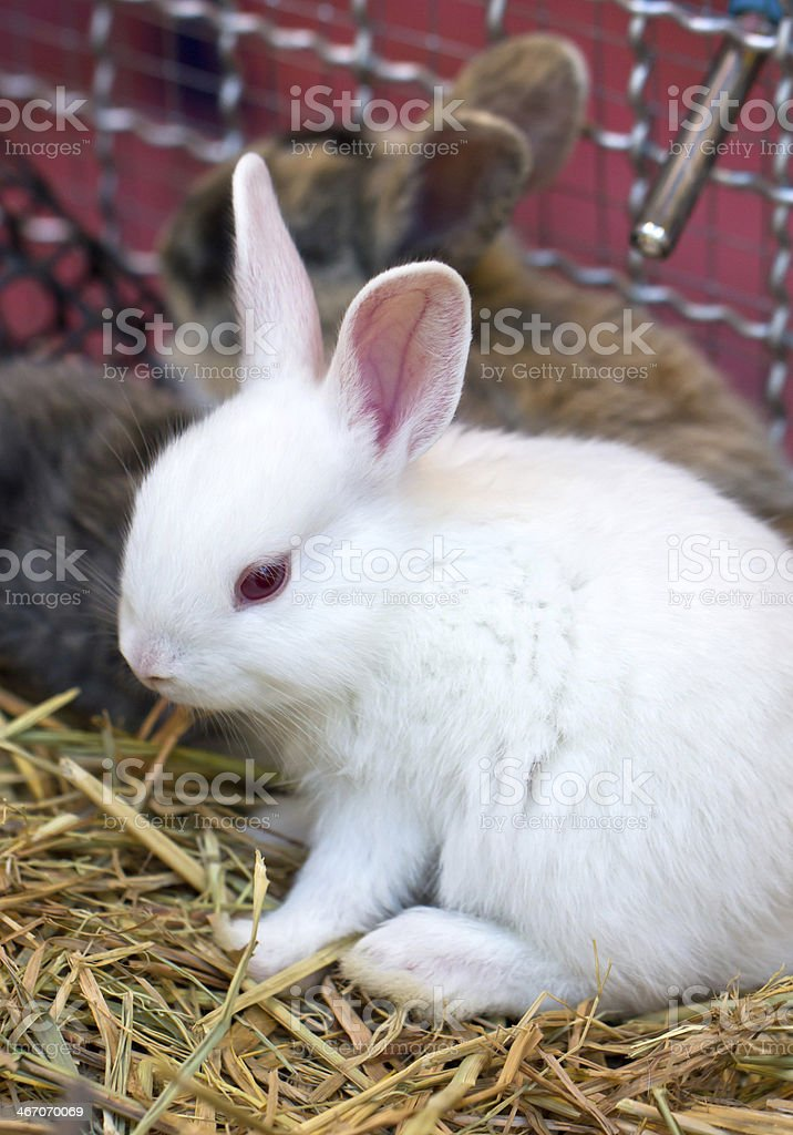 Young white rabbit. royalty-free stock photo