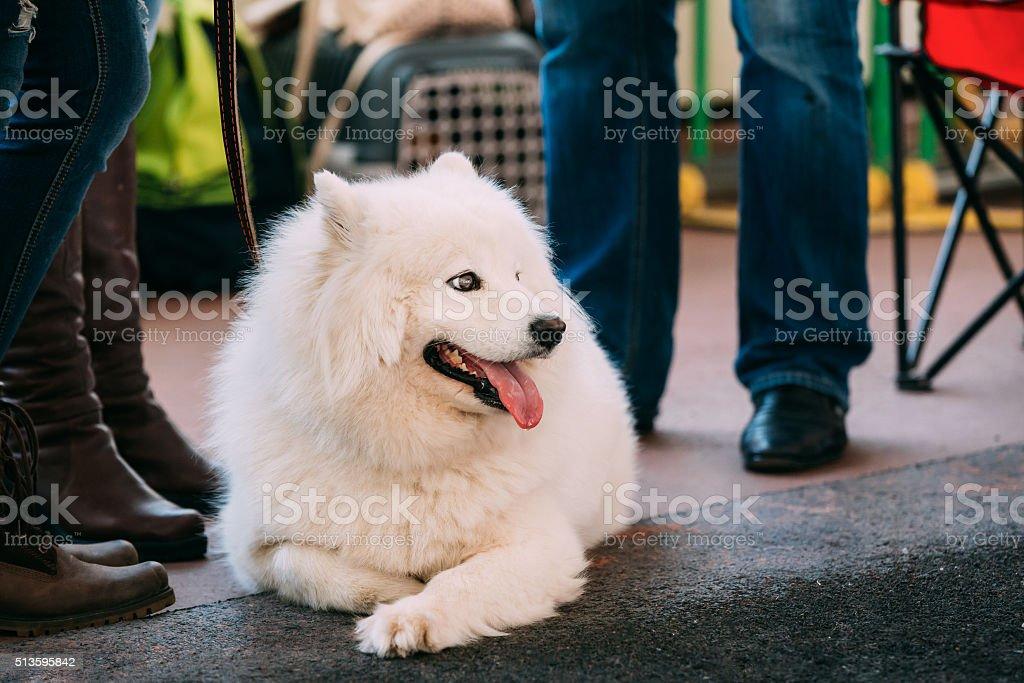 Young White Samoyed Dog Sitting On Floor stock photo