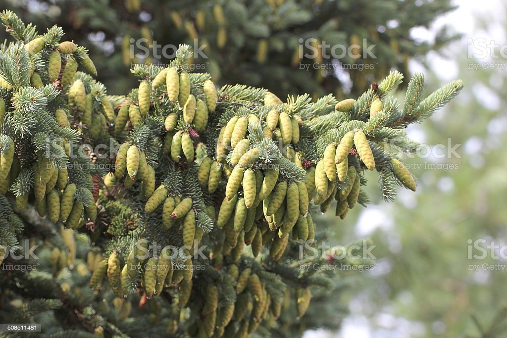 Young White Spruce Cones stock photo