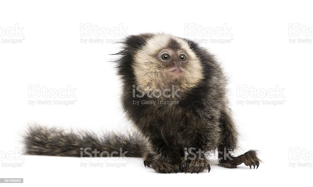 Young White-headed Marmoset standing and looking away stock photo