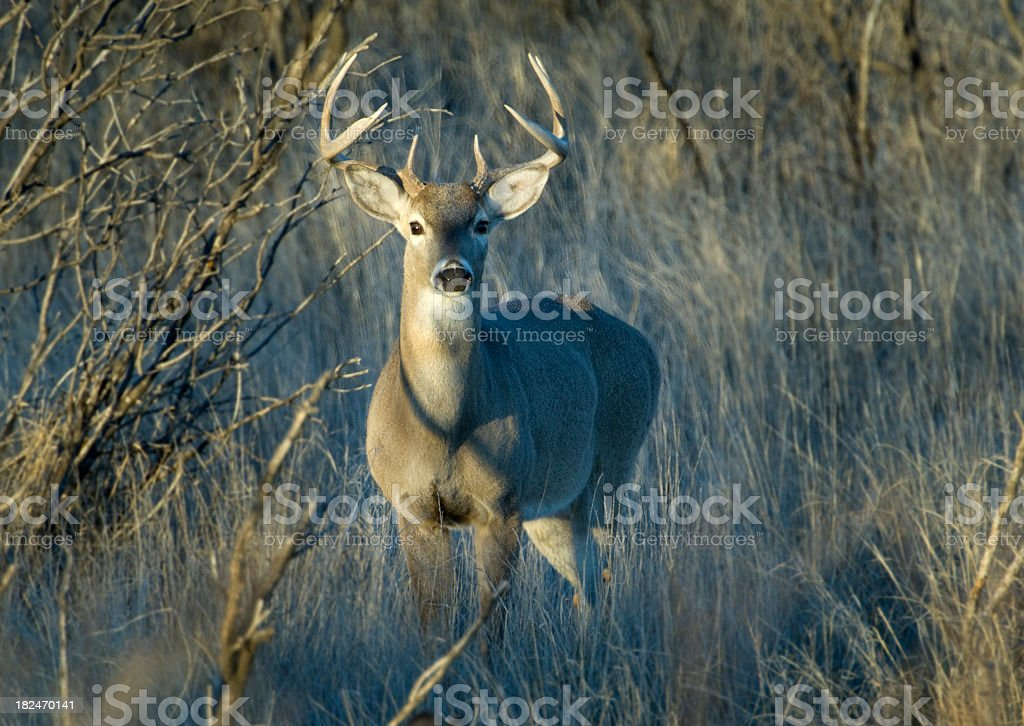 Young whitetail deer in the Texas brush stock photo