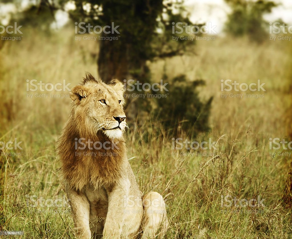Young wild african lion stock photo