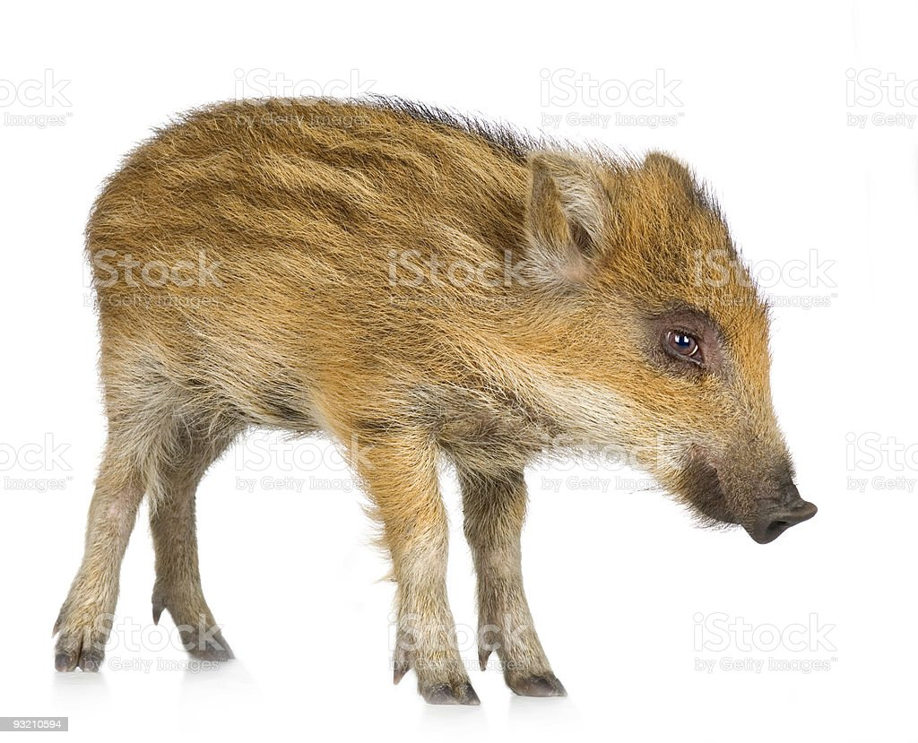 young wild boar ( 7 weeks ) royalty-free stock photo