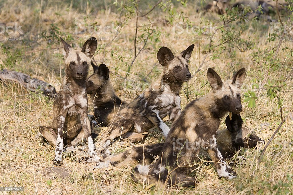 Young Wild Dogs stock photo