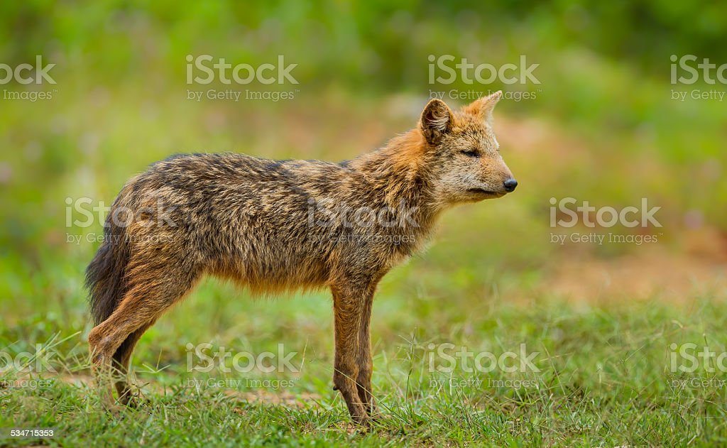 Young wild Jackal (Canidae ) stock photo