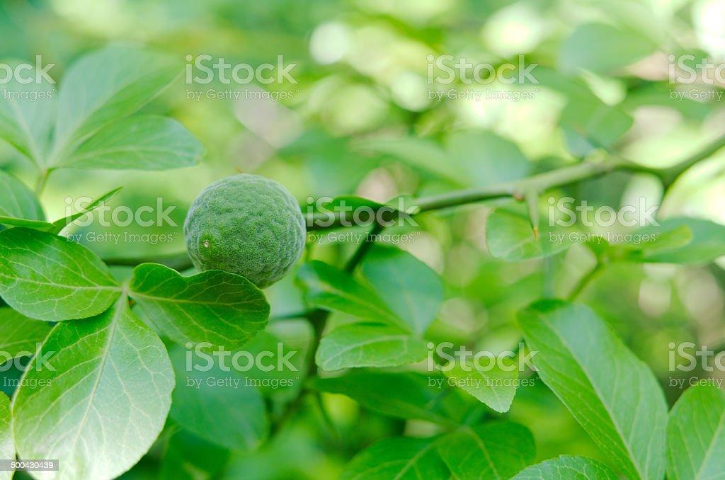 Young Wild Lemon Fruit stock photo