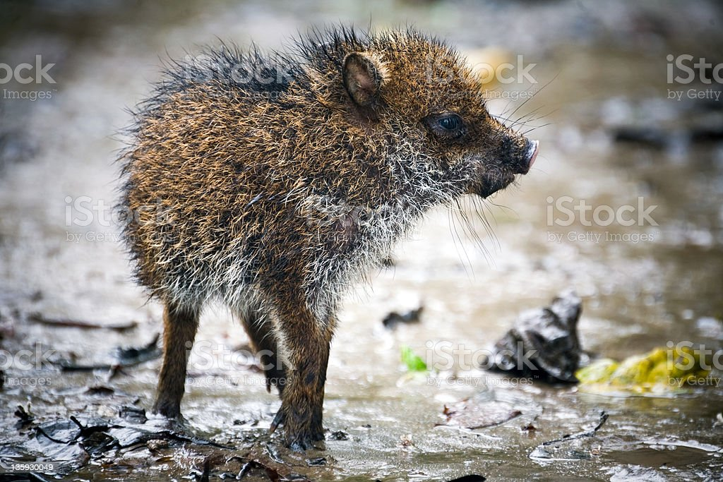Young wild pig stock photo